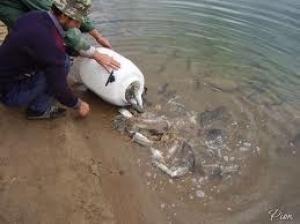 Очередное зарыбление белорусских водоемов