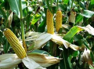 Ситуация с ценой кукурузу
