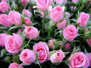Как же правильно выбрать розы?